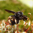 Постер, плакат: Violet carpenter bee on moss