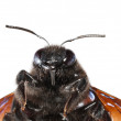 Постер, плакат: Indian Bhanvra portrait violet carpenter bee