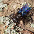 Indian Bhanvra (borer bee) on old trunk — Stock Photo #45966247