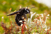 Borer bee going to fly — Stock Photo