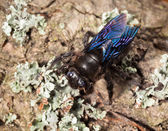 Indian Bhanvra (borer bee) on old trunk — Stock Photo