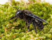 Macro of borer bee in moss side-view — Stock Photo