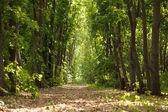 Path through maple woods — Stock Photo