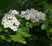 Flowering hawthorn in springtime — Stock Photo