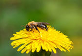 Bee on blossom dandelion head — Foto de Stock