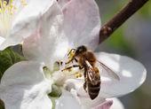 Bee feeding on apple flower — Stock Photo