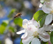Bee flying in  orchard — Stock Photo