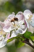 Abeja trabajando en flor manzana en primavera — Foto de Stock