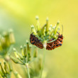 Постер, плакат: Mating two shield bugs on blurry background