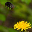 Bumble bee flying from flower — Stock Photo