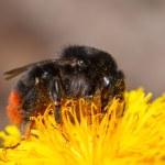 Bumblebee on dandelion — Stock Photo #49323767