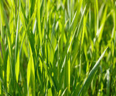 Grass blades background — Stock Photo