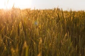 Sun beams over cereal field — Stock Photo