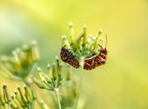 Mating two shield bugs on blurry background — Stock Photo