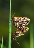 Two butterflies coupling — Stock fotografie