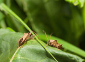 Dock bugs on green leaf — Stock Photo