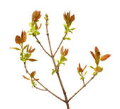 Young leaves on tree twig — Stock Photo