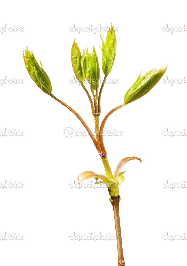春天的枫叶 — 图库照片08abet#50144167