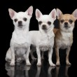 Постер, плакат: Three chihuahua