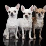 ������, ������: Three chihuahua