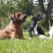 Stock Photo: Three dogs (RhodesiRidgeback hound Hort, Papillon)