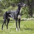 Hort greyhound — Stock Photo #30546605