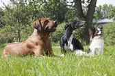 Three dogs (Rhodesian Ridgeback hound Hort, Papillon) — Stock Photo