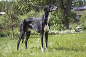 Hort greyhound — Stock Photo