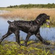 Black Russian Terrier — Stock Photo