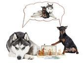 Dogs (Siberian Husky and Miniature Pinscher) — Zdjęcie stockowe