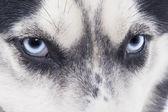 Blue eyes Siberian Husky — Stock Photo