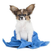 Papillon puppy in a towel — Stock Photo