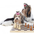 Yorkshire terriers are playing chess — Stock Photo #34680653