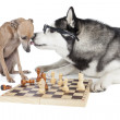 Two dogs (Italian greyhound and Siberian Husky) playing chess — Stock Photo #34680835