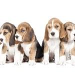 Four beagle puppy — Stock Photo