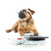 Dog Breed Small Brabant Accountant — Stock Photo