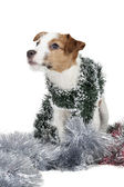 Jack Russell terrier puppy — Stock Photo