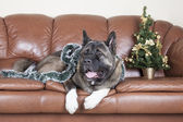 American Akita on the couch — Stock Photo