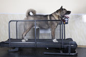 American Akita simulator — Stock Photo