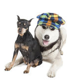 Dwarfs Pinscher and the Siberian Husky — Stock Photo