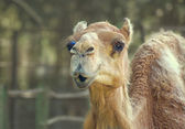 Camel smiling look alike at zoo — Stock Photo