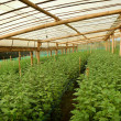 Постер, плакат: Chrysanthemum farm inside greenhouse