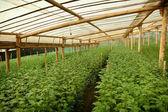 Granja de crisantemo dentro de invernadero — Foto de Stock