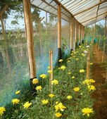 Chrysanthemum farm inside greenhouse — Stock Photo