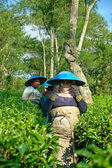 Couple female farmers harvesting tea leaves — Stock Photo