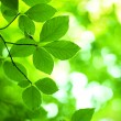 Tree branch with green leaves — Stock Photo #29573761