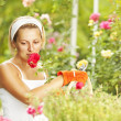 Stock Photo: Womgardener pruning roses in rose garden