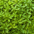 Stock Photo: Basil leaves, close up
