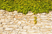 Väggen i fältet stenar och dinglande vinrankor lämnar. — Stockfoto