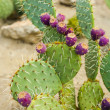 Prickly pear cactus with fruit in purple color. — Stock Photo
